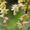 Tamus orientalis
