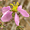 Fagonia sinaica