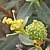 Euphorbia ramonensis