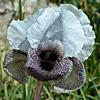 Iris hermona