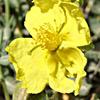 Helianthemum ventosum