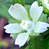 חלמית קטנת-פרחים