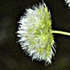 Lagoecia cuminoides