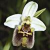Ophrys bornmuelleri