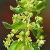Cruciata articulata