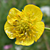 Ranunculus constantinopolitanus