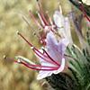 Echium  glomeratum
