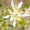 Zygophyllum dumosum
