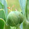 Euphorbia aleppica