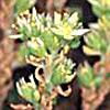 Sedum laconicum
