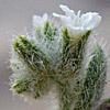 Heliotropium myosotoides