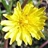 Taraxacum cyprium