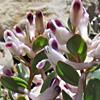 Corydalis erdelii