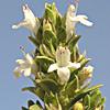 Thymus bovei