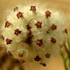 Lasiospermum brachyglossum