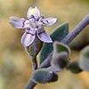 Bolanthus filicaulis