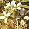 Morettia philaeana