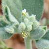 מורטיה קטנת-פרחים