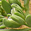 Telephium sphaerospermum