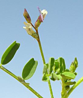Astragalus corrugatus