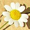 Anthemis scrobicularis