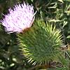 Cirsium vulgaris