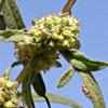 Ambrosia  confertiflora