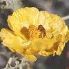 פרגה צהובה