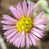 Lachnophyllum noaeanum