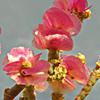 Anabasis articulata