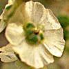 Halothamnus hierochunticum