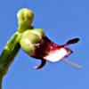 Scrophularia hypericifolia