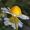 Anthemis  pseudocotula