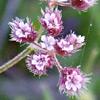 Chaetosciadium trichospermum