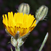 Crepis aculeata