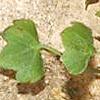 Saxifraga hederacea