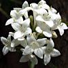 Asperula libanotica