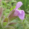 Salvia rubifolia