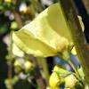 Verbascum qulebicum