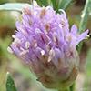 Cephalaria tenella