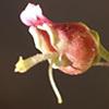 Scrophularia libanotica