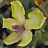 Verbascum tripolitanum