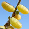 Sueda vermiculata