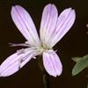 Dianthus micranthus