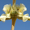 Seidlitzia rosmarinus