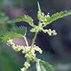 Urtica kioviensis