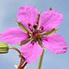 Erodium glaucophyllum
