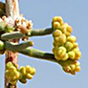 Ephedra ciliata