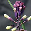 Bellevalia trifoliata
