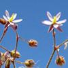 Spergularia diandra